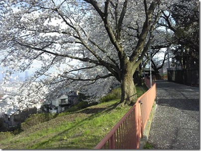 浄水場の桜1