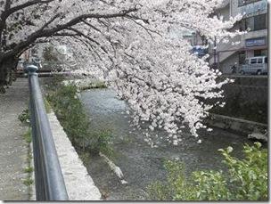 桜・両郡橋